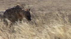 Spotted Hyena Lone Walking Winter Kalahari - stock footage