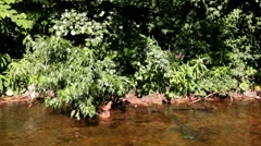 Small river in Schwarzwald with wild ducks Stock Footage