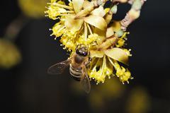 bee on flower cornus - stock photo