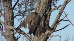 Raptor Kgadagali Transfrontier Park Winter Kalahari - stock footage
