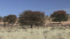 Shepherds Tree Fruit Winter Kalahari Stock Footage