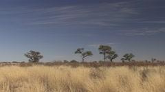 Savannah Kgadagali Transfrontier Park Winter Kalahari - stock footage