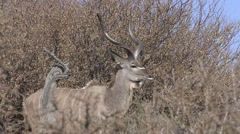 Stock Video Footage of Kudu Buck Adult Lone Winter Kalahari