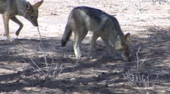 Jackal Pair Winter Kalahari - stock footage