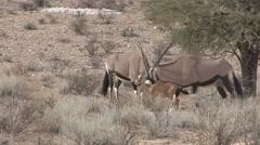 Gemsbok Adult Young Several Winter Kalahari Stock Footage