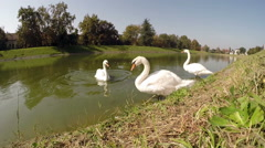 Three Happy Swans ar Dancing - stock footage