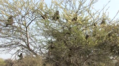 Chacma Baboon Several Feeding Winter Flower Blossums Tree - stock footage