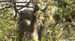 Chacma Baboon Feeding Winter Flower Blossums Tree - stock footage
