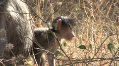 Chacma Baboon Female Adult Young Family Winter - stock footage