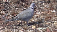 Ring-necked Dove Winter Cape Turtle Stock Footage