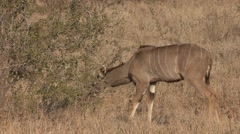Stock Video Footage of Kudu Female Lone Feeding Winter Browsing