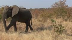 African Elephant Bull Adult Alarmed Winter Threatening Stock Footage