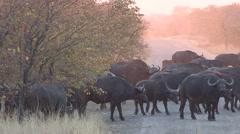 Cape Buffalo Herd Walking Winter Dusk Stock Footage