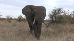 African Elephant Bull Adult Aggressive Winter Threatening Stock Footage