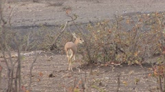 Ungulate Kruger National Park Winter - stock footage