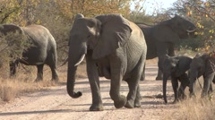 African Elephant Adult Young Herd Walking Winter Stock Footage