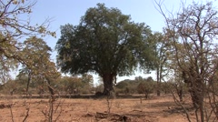 Trees & Shrubs Kruger National Park Winter Stock Footage