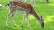 Stock Video Footage of Deer grazing on the lawn