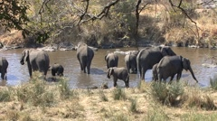 African Elephant Adult Young Herd Drinking Winter - stock footage
