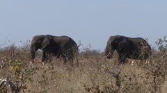 African Elephant Bull Adult Pair Feeding Winter Zoom Out - stock footage