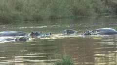Hippopotamus Herd Winter Yawn - stock footage