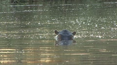 Hippopotamus Lone Alarmed Winter - stock footage