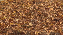 Beautiful yellow brown rug leaves autumnal season day leaf fall park ground icon Stock Footage