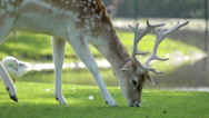 Stock Video Footage of Buck deer grazing on the lawn