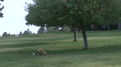Red Fox Lone Fall Urban - stock footage