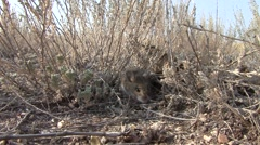 Deer Mouse Lone Feeding Fall Stock Footage