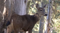 Black-tailed Deer Doe Lone Alarmed Fall Stock Footage