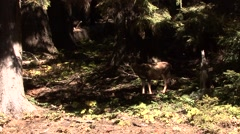 Black-tailed Deer Lone Fall Old Growth Forest Zoom In Stock Footage