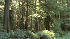 Forest Olympic National Park Fall Old Growth Rain Stock Footage