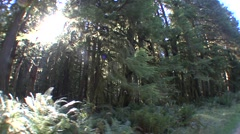Forest Olympic National Park Fall Old Growth Rain Sun Flare Tracking Stock Footage