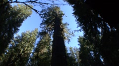 Spruce Fall Pacific Northwest Rain Forest Tilt Up - stock footage