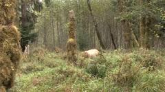 Elk Bull Immature Lone Feeding Fall Roosevelt Rain Forest Stock Footage