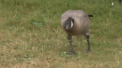 Stock Video Footage of Canada Goose Fall