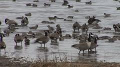 Canada Goose Flock Fall - stock footage