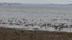 Northern Pintail Flock Fall Stock Footage