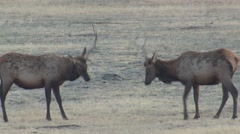 Stock Video Footage of Ungulate Wind Cave National Park Bull Adult Pair Fighting Fall