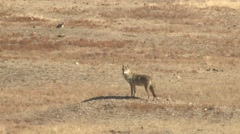Coyote Lone Running Fall Stock Footage