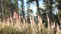 Fireweed Fall Seed Wind Dispersal Stock Footage