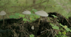 Small tiny pretty common wood sorrel found on the trunk of a tree fs700 4k Stock Footage