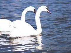 Beautiful swans swimming in the river, steadycam shot, slow motion shot Stock Footage