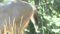 Black-tailed Deer Doe Adult Fall Tail - stock footage