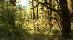 Forest Olympic National Park Fall Old Growth Rain Forest - stock footage