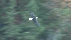 Bald Eagle Adult Lone Flying Fall Stock Footage