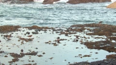 Black Oystercatcher Several Feeding Fall Tide Pool Stock Footage