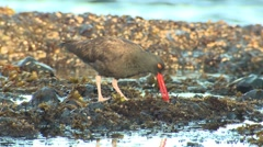 Black Oystercatcher Feeding Fall Stock Footage
