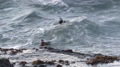 Harlequin Duck Drake Hen Pair Feeding Fall Ocean Surf - stock footage